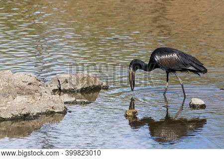 African Openbill Stork (anastomus Lamelligerus) Wading In A River And Fishing With His Reflection In