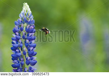 Bumblebee And Blue Forest Flower. Hot Summer In Nature, Among Flowers And Herbs. Fresh Air. Bumblebe