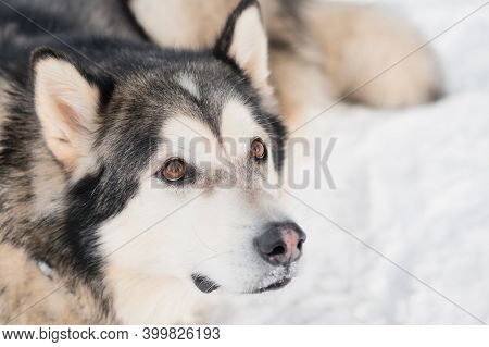 Alaskan Malamute In Winter Forest. Close Up Portrait. Looking Up.