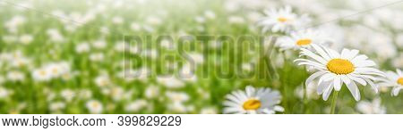 Background Banner Field Of Chamomile Flowers In Sunlight. Summer Daisies. Beautiful Nature With Bloo