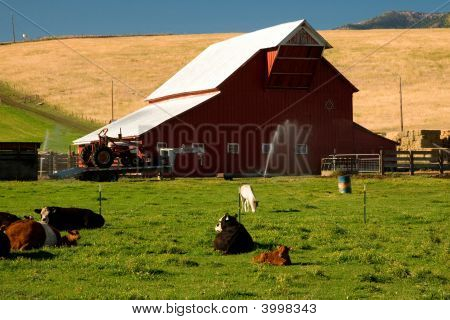 Barn And Cattle