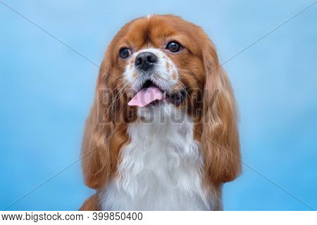 Cavalier King Charles Spaniel, A Beautiful Red Dog.