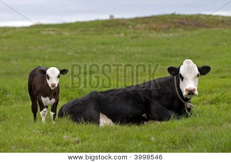 Cows - Mother And Baby