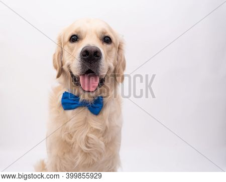 The Dog In A Blue Bow Tie Sits On A White Background. Golden Retriever For The Holidays: Valentine's