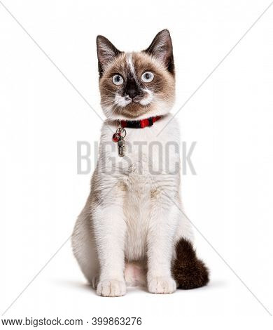 Crossbreed cat wearing a capsule collar tube for identification and a bell