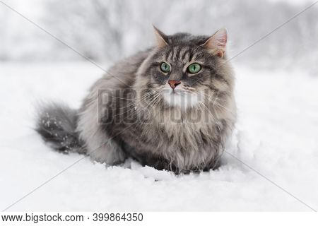 Cat Sitting In A Snowdrift. Gray Fluffy Cat Looking Out, Winter Snowy Forest. Siberian Breed.