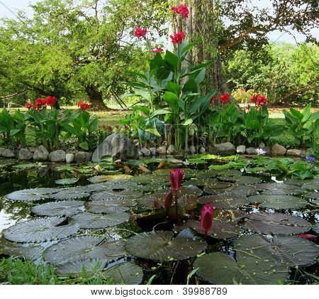 Lotuses in a pond