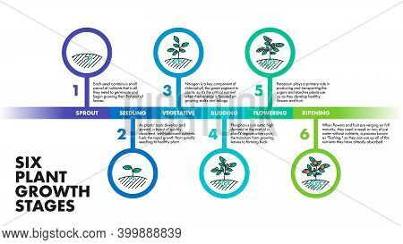 Plant Growth Stages Infographics. Vector Modern Poster Showing Six Plant Growth Stages With Illustra