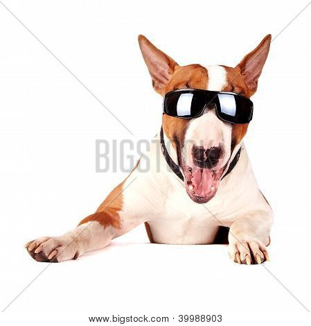 Alegre Bull Terrier en gafas de sol