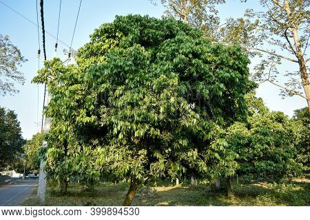 A Beautiful Litchi Tree Beside A Road In Rural Area In India