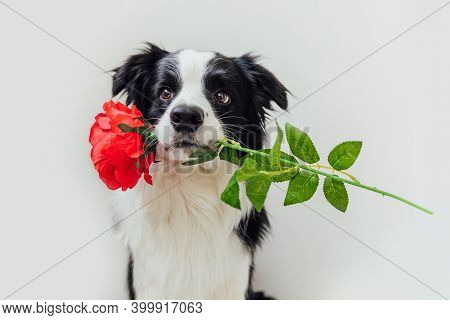 St. Valentines Day Concept. Funny Portrait Cute Puppy Dog Border Collie Holding Red Rose Flower In M