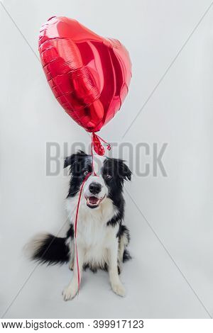 St. Valentines Day Concept. Funny Portrait Cute Puppy Dog Border Collie Holding Red Heart Balloon In