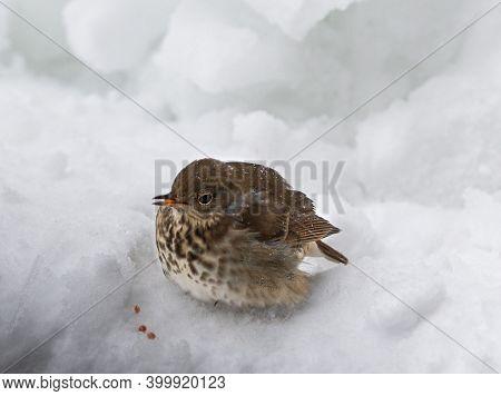An Injured North American Sparrow Bird Standing On Snow Bleeding From Its Beak.