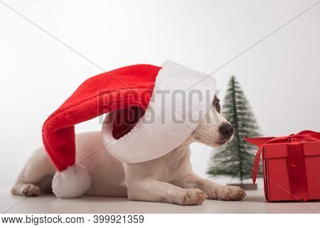 Dog In The Studio On A White Background Before Christmas. Santas Little Helper