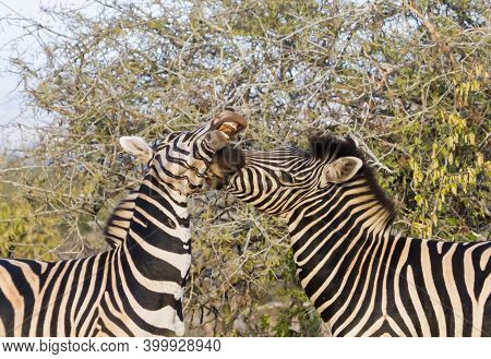 Pair Of Male Zebra Biting And Fighting For Dominance In Kruger National Park, South Africa