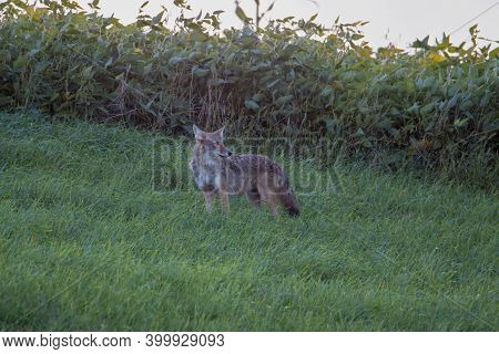 Coyote (canis Latrans) Standing In A Grass Field During Summer. Selective Focus, Background Blur And