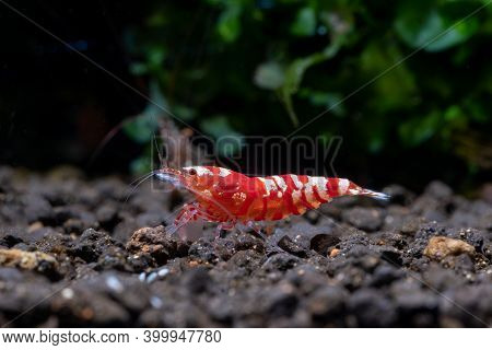 Red Fancy Tiger Dwarf Shrimp Stay Alone On Aquatic Soil With Green Aquatic Plant In Fresh Water Aqua