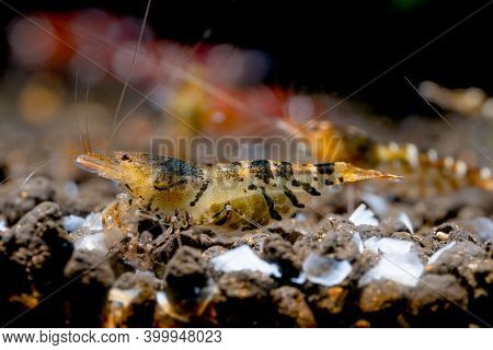 Pregnant Golden Tiger Dwarf Shrimp Look For Food On Aquatic Soil And Stay With Other Shrimps In Fres