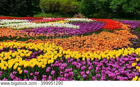 Blooming Tulips Of Different Colors And Varieties. Multicolored Blooming Fields Of Tulips. Natural F