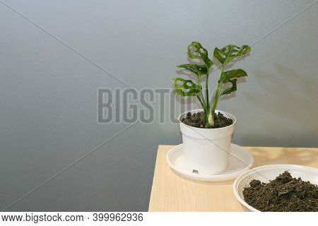 Monstera Adansonii, Of Five Holes Plant Vine Potted House Plant. Neytral Grey Background And Some Sp