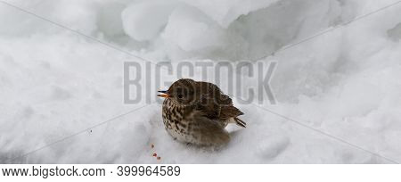 Young Sparrow Bird Sitting On The Snow Dripping Blood From Its Open Beak.