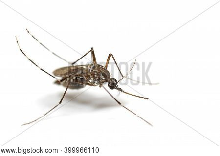 Macro Photography Of Yellow Fever Mosquito Isolated On White Background