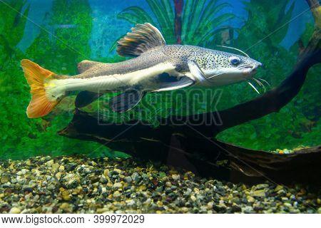 Red-tailed Catfish In The Aquarium. Redtail Catfish  (phractocephalus Hemioliopterus)