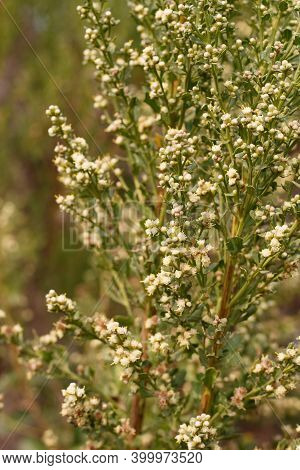 White Blooming Staminate Discoid Head Inflorescences Of Coyote Bush, Baccharis Pilularis, Asteraceae