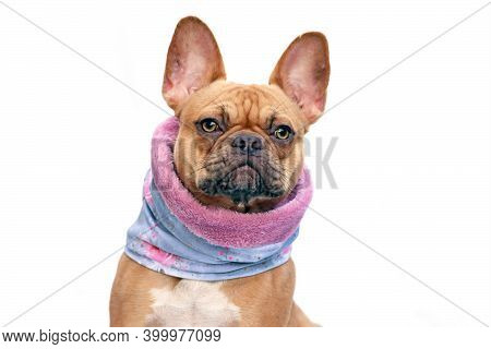 French Bulldog Dog Wearing Warm Loop Scarf Around Neck To Keep Warm In Cold Temperatures Isolated On