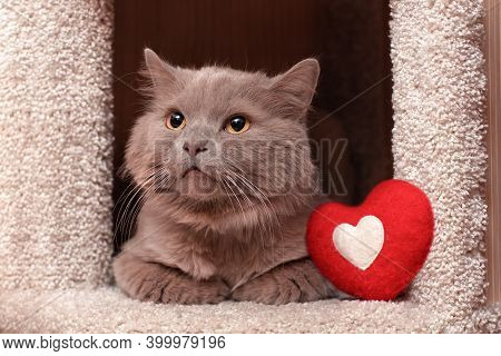 A Gray Fluffy Cat Lies In A House, A Soft Pillow In The Shape Of A Red Heart, A Card For Valentine's