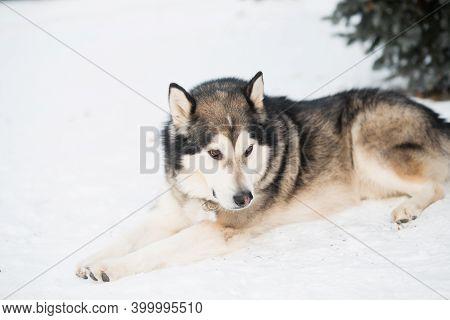 Sitting Alaskan Malamute Lying In Winter Forest. Near Spruce Tree.