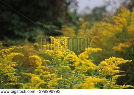 A Goldenrod Flowers Landscape Background. European Nature