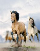 horses in dust running in stormy weather poster