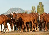 arabian horses in arabian horse stud farm poster