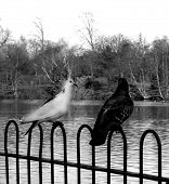 These are birds near Valentines Park lake in Ilford. poster