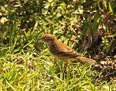 Small brown bird hopping the high grass poster