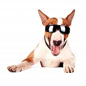 Cheerful bull terrier in sunglasses on a white background poster