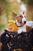 Portrait of a red bull terrier on a bench in the autumn afternoon poster