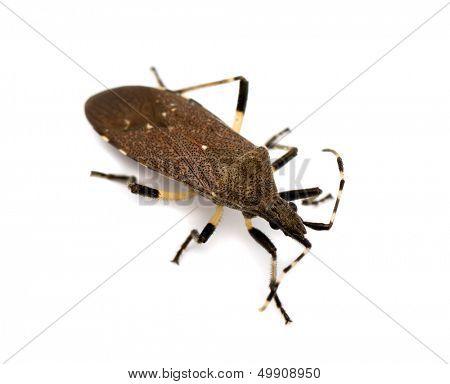 Spurge bug (Dicranocephalus agilis) isolated on white