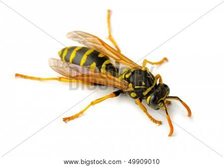 European paper wasp (Polistes dominula) isolated on white