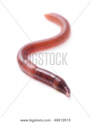 Single earthworm isolated on white
