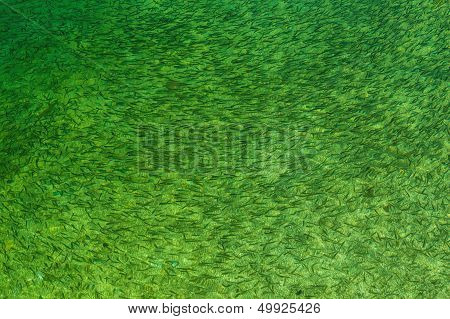 Fish In Green Freshwater