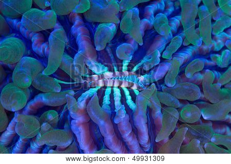 Plate Coral