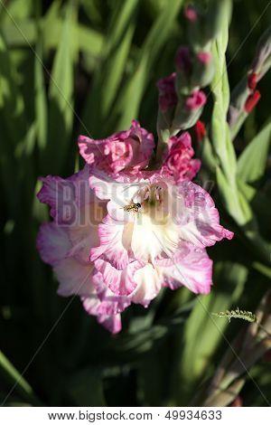 Garden Gladiolus - hover fly