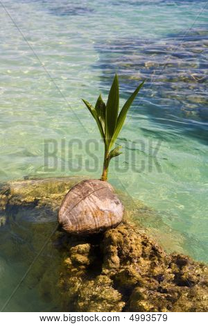 Prouting Coconut Washes Up On A Coral Reef