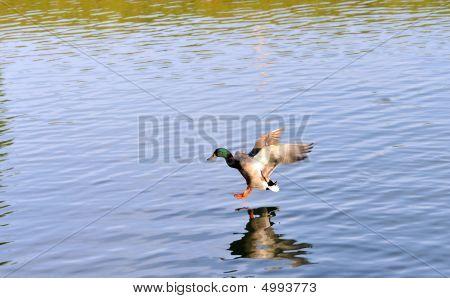 Duck Landing In A Pond