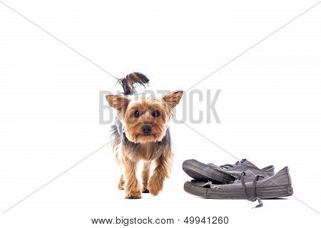 Little Yorkie At Obedience Training