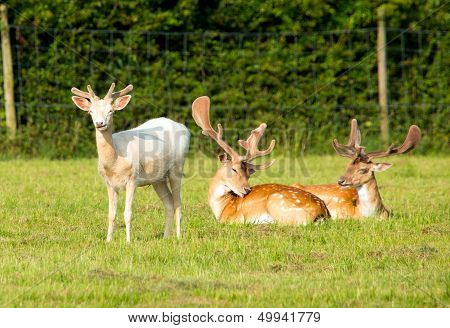 Albino and red deer in the New Forest Hampshire England poster