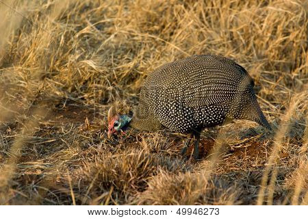 Single male Helmeted Guineafowl feading on the ground poster