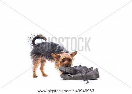 Little Yorkshire Terrier Chewing On Old Shoes